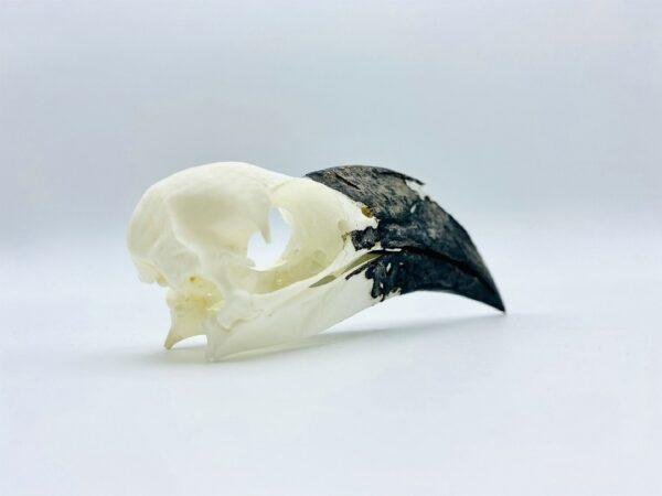 Female Von der Decken's hornbill skull - Tockus deckeni - 9,5 cm