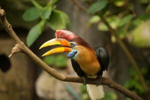 Knobbed Hornbill - Natural History Curiosities
