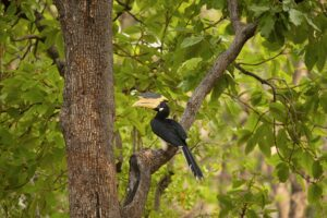 Malabar Pied Hornbill - Natural History Curiosities