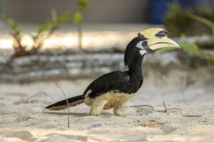 Oriental Pied Hornbill - Nature Stock