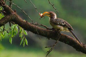 Southern Yellow Billed Hornbill - Natural History Curiosities