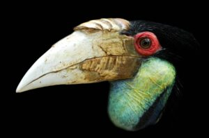 Wreathed Hornbill - Natural History Curiosities