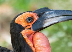 Southern ground hornbill - Natural History Cusiosities