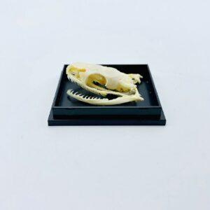 Trinket snake (Coelognathus helena) skull in a black box