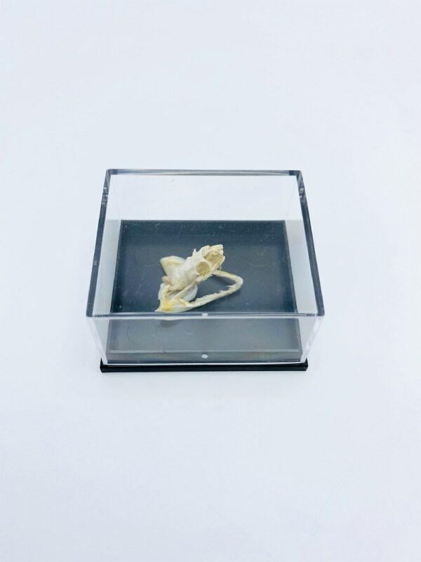 Reuss' Mud Snake (Miralia alternans) skull in a black box