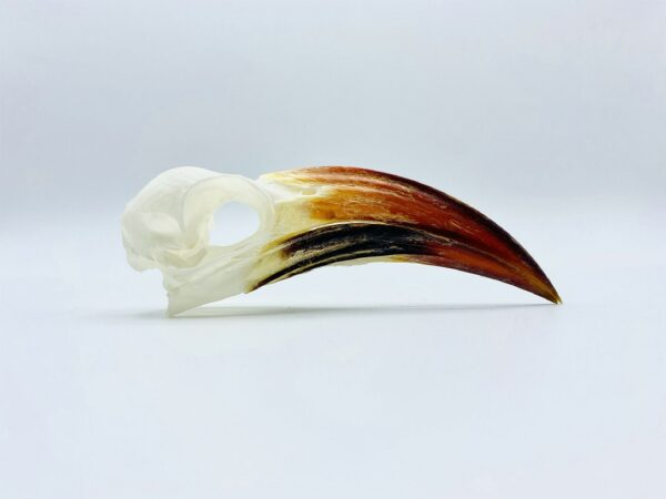 Southern red-billed hornbill skull - Tockus rufirostris - 10 cm