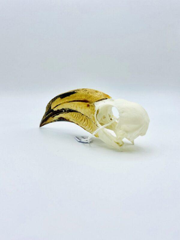 African pied hornbill skull - Lophoceros fasciatus - 13 cm